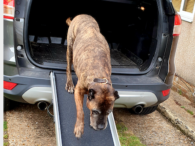Dog using a pet ramp to get out of the trunk