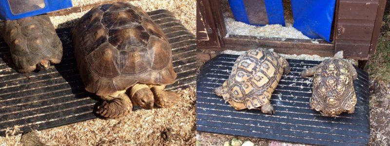 tortoises on a rubber threshold ramp
